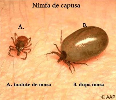 FOTO 4 - Dimensiunea capusei variaza în funcție de stadiul de evoluție (larvă, nimfă, adult) și de momentul hrănirii